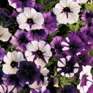 Shock Wave Purple Tie Dye Trailing Petunia 25 Pelleted Seeds