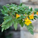 Campsis radicans Flava Yellow Trumpet Creeper 40 seeds USPS