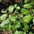 30 seeds American Holly (ilex opaca Southern)