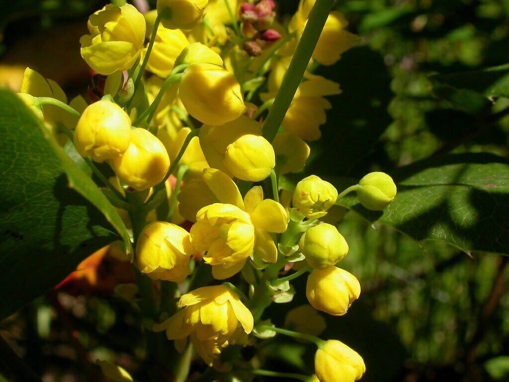Creeping Barberry Oregon Grape 50 seeds