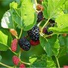 50 seeds Black Mulberry (Morus nigra)