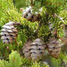 Red Spruce (Picea rubens) 50 seeds USPS