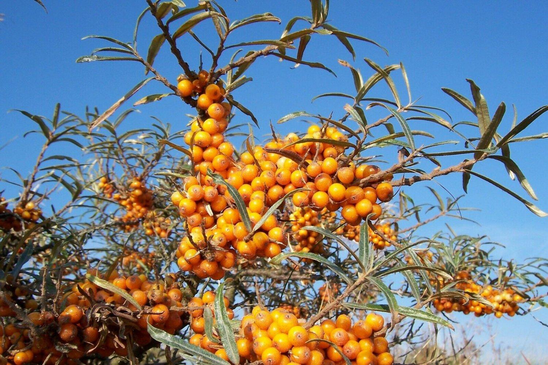 Sweet Seaberry Hippophae rhamnoides 50 seeds