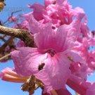 20 seeds Big Flower Pink Poui Flowering Trumpet