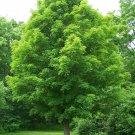 High germanium Sugar Maple 20 seeds garden plant