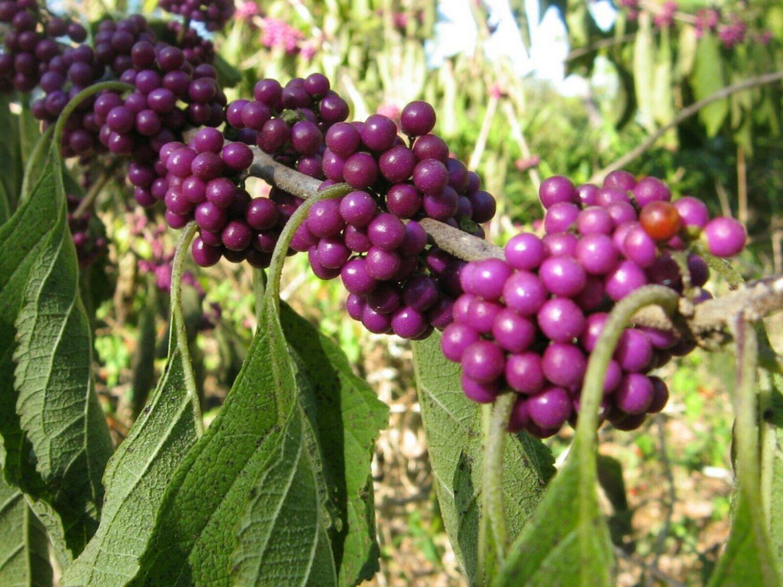 Callicarpa americana Beauty berry Beautyberry 30 seeds