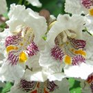 Northern Catalpa Tree Plants 12+ Inches 2 To 3 Year Old