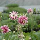 Flowering Perennial Columbine Nora Barlow White with pot