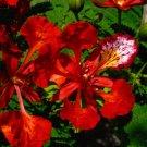 Organic Royal Poinciana Delonix regia 10 seeds
