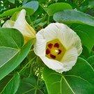 5 seeds Seaside Mahoe Portia Tree Thespesia populnea