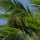 30+ Fresh Seeds limited Senegal Date Palm Phoenix
