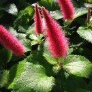 DWARF CHENILLE Unique Fuzzy Red Flower Plant 1 root