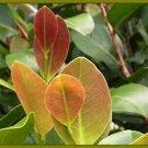 Red Tip Salt Tolerant Tropical Hedge Plant 1 root