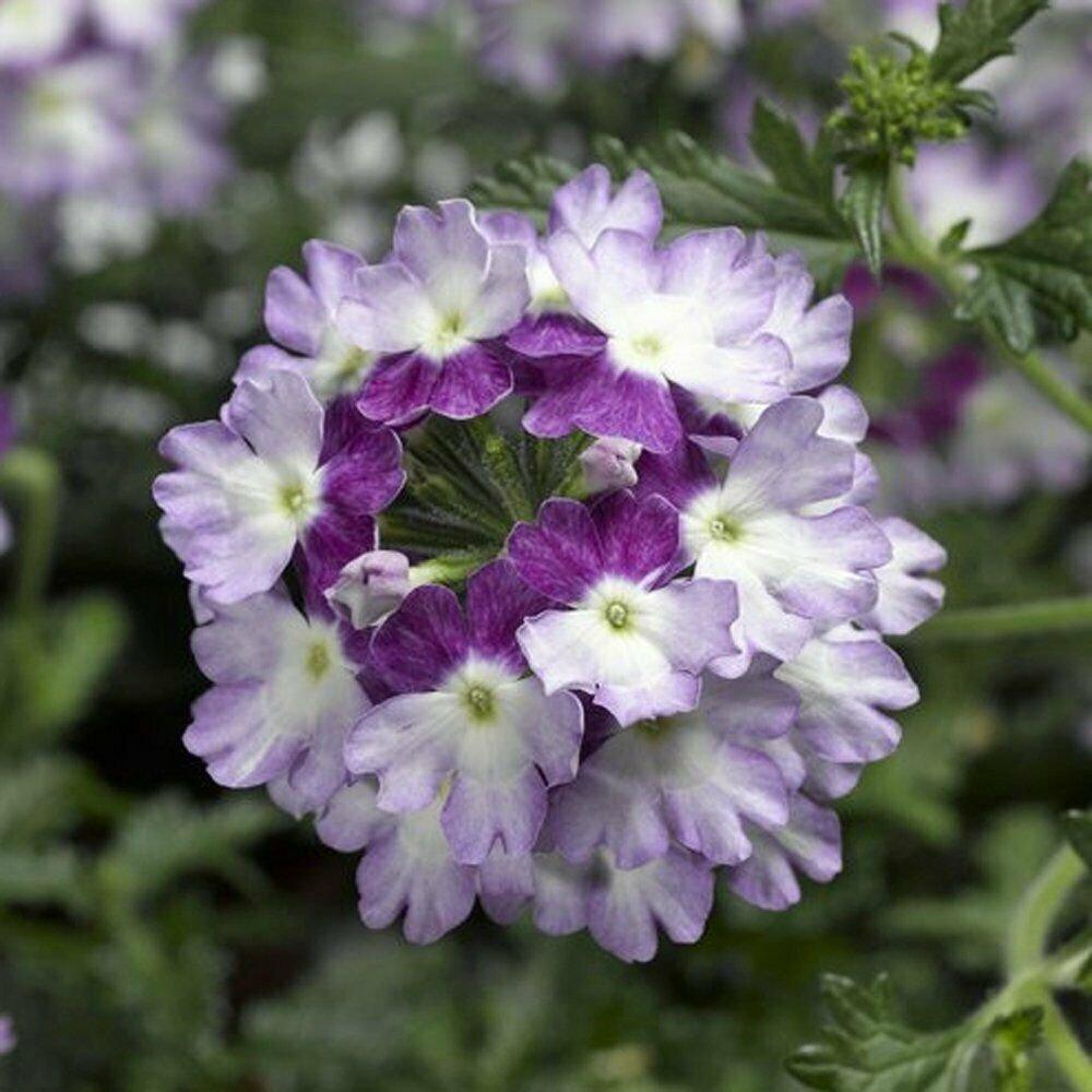 Verbena garden decore Purple Twist USPS Tracking