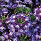 Wildflower Verbena garden decore Purple White USPS Tracking 50 seeds