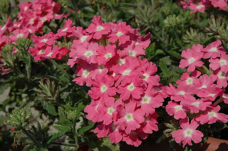 Wildflower Verbena garden decore Light Pink White USPS Tracking 50 seeds