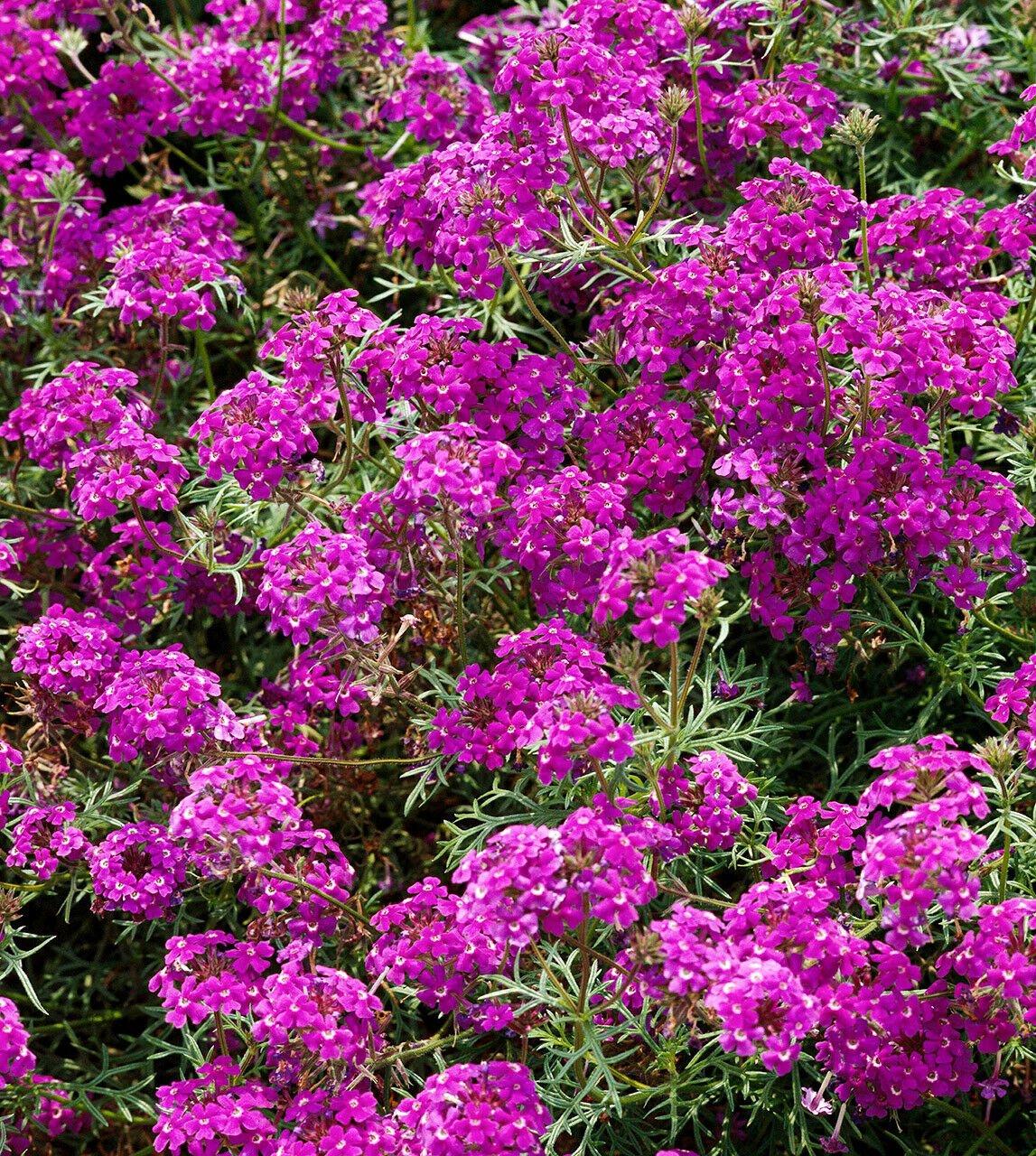 Wildflower Verbena garden decore Bright Purple USPS Tracking 50 seeds