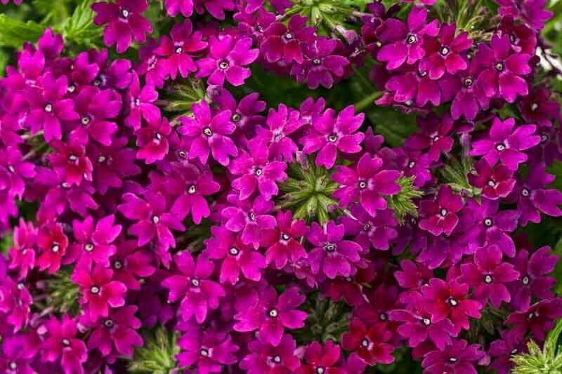 Wildflower Verbena garden decore Royal Plum USPS Tracking 50 seeds
