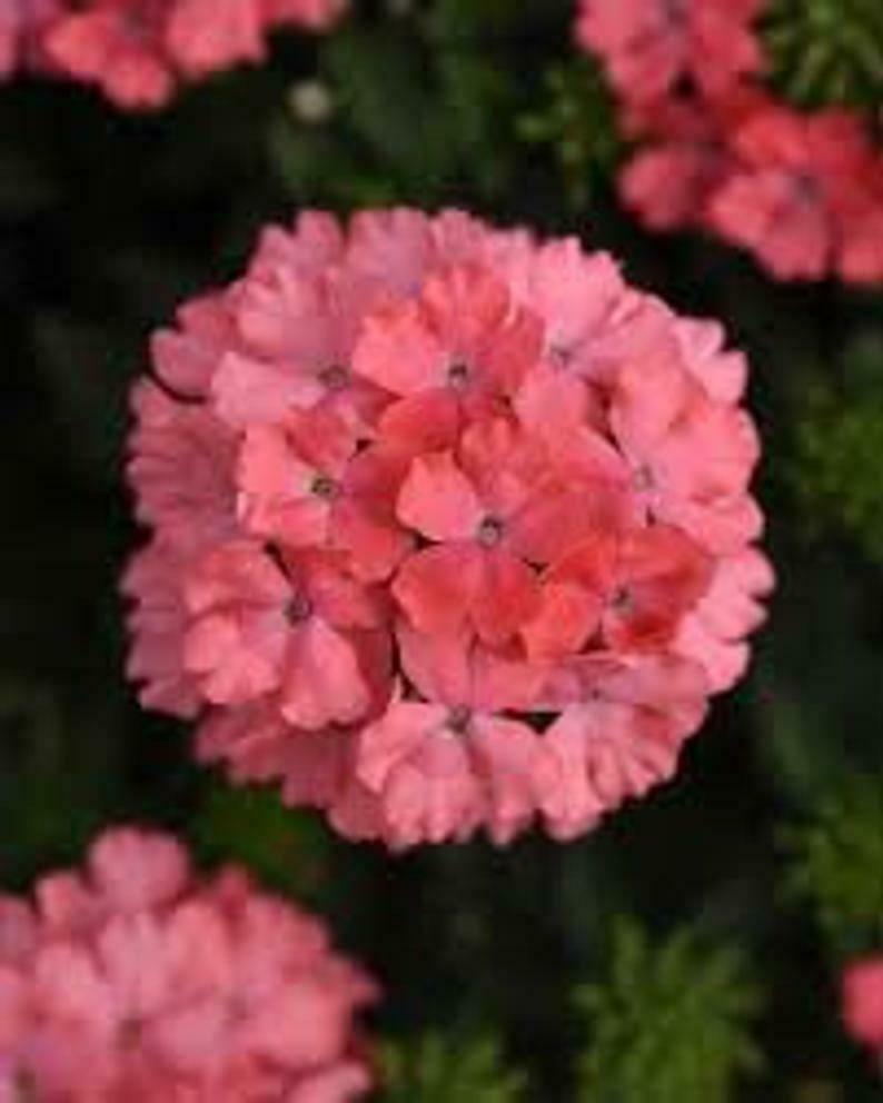 Wildflower Verbena garden decore Light Pink USPS Tracking 50 seeds