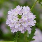 Wildflower Verbena garden decore Silver USPS Tracking 50 seeds