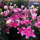 2 Bulbs Stargazer Oriental Fresh Lily Flower