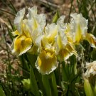 Freshly Dug WITH CASTANET'S Bearded Iris rhizome