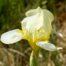 Freshly Dug SNOW GAMBIT Bearded Iris rhizome