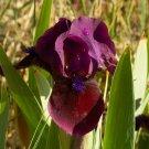 Freshly Dug CANDY APPLE Bearded Iris rhizome