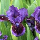 Freshly Dug TARHEEL ELF Bearded Iris rhizome