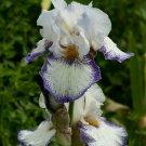 Freshly Dug SPINNING WHEEL Bearded Iris rhizome