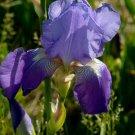 Freshly Dug BLUE RHYTHM Bearded Iris rhizome