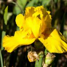 Freshly Dug GRAND PRIX Bearded Iris rhizome