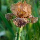 Freshly Dug GIRAFFE KNEEHIZ Bearded Iris rhizome