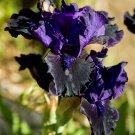 Freshly Dug DEEP DARK SECRET Bearded Iris rhizome