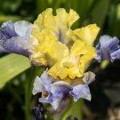 Freshly Dug EDITH WOLFORD Bearded Iris rhizome