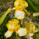 Freshly Dug JOYCE TERRY Bearded Iris rhizome