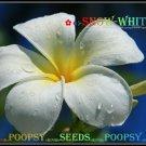 12 seed Snow White or mix PLUMERIA FRANGIPANI P1 with tracking
