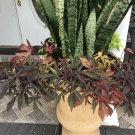 "Snake Plant Mother-In-Law Sanseveria Live 6+"""