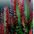 "Euphorbia Trigona Royal Red African Milk Tree Exotic Cactus 1 cutting 4+"""
