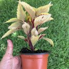 """COLEUS LIVE PLANT~ 4 INCHES TALL Pot 3"""" Rooted"""