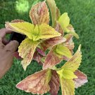 """#2 COLEUS LIVE PLANT~ 4 INCHES TALL Pot 3"""" Rooted"""