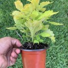 """#5 COLEUS LIVE PLANT~ 4 INCHES TALL Pot 3"""" Rooted"""