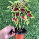 """#8 COLEUS LIVE PLANT~ 4 INCHES TALL Pot 3"""" Rooted"""