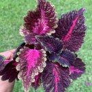 """#11 COLEUS LIVE PLANT~ 4 INCHES TALL Pot 3"""" Rooted"""