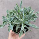 Senecio kleiniiformis - Spear Head Succulent Plant 4 inch