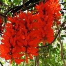 NEW HOT SALE 'Strongylodon Macrobotrys' Mucuna Benettii Red Jade Vine Seeds