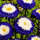 50 aster seeds,Pompon aster,purple flowers,SW06
