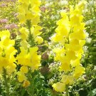 500 Antirrhinum yellow,Antirrhinum seeds,Snapdragon giant,SW19