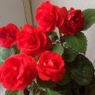 50 Red Balsam seeds,Terry balsam seeds,Impatients Walleriana,SW34