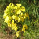 200 mustard seeds,White mustard,SINAPIS ALBA,organic mustard,SW37
